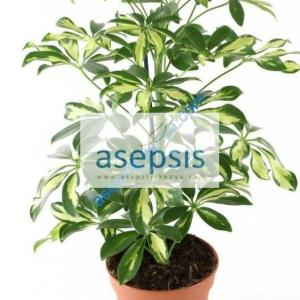 Variegated Schefflera [Umbrella] tree