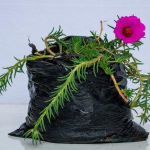 Hardy ice plant [Delosperma cooperi] is a popular garden and landscape plant
