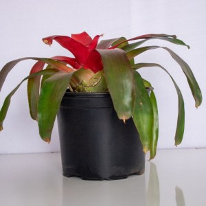 Bromeliad is a leafy plant that grows in a natural rosette. Bromeliads produce leaves of different forms and colors