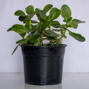 Pigmyweeds (Crassula) is a succulent plant, a member of the jade plant family.