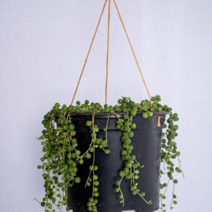 String of pearls or string of beads is a succulent vine. A beautiful indoor plant grown in hanging baskets.