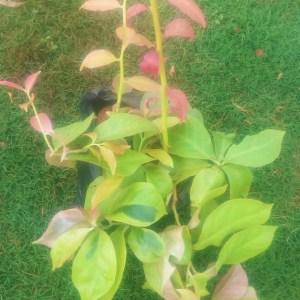 Pereskia garden plant in Kenya