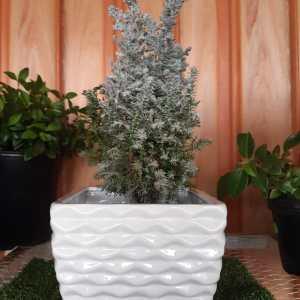 Atlantic white cedar in Kenya