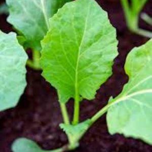 Broccoli seedlings in Kenya