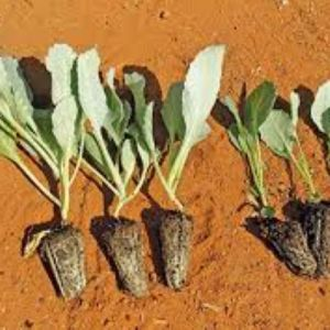cabbage seedlings in Kenya