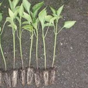capsicum seedlings in Kenya