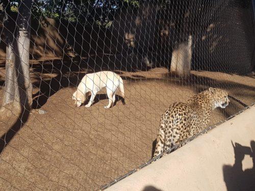 Cheetah and dog together San Diego Zoo, USA