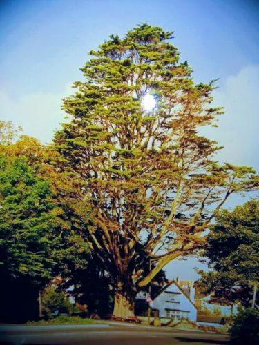 The Big Tree Paignton History