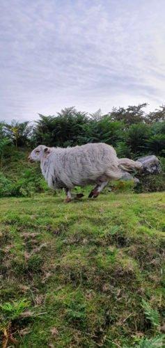 Sheep running on grass
