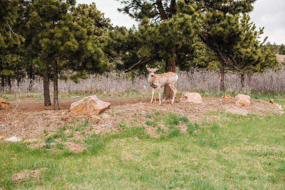 a deer in colorado