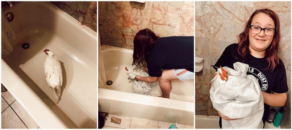 hen getting a bath