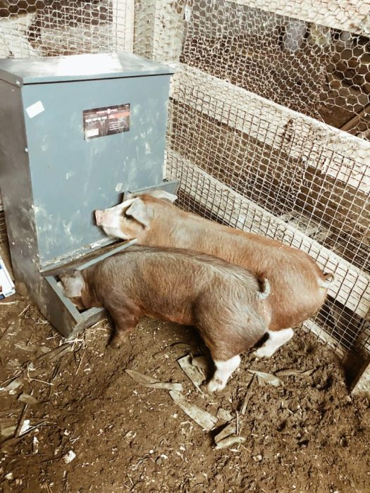 never let your pigs run out of food