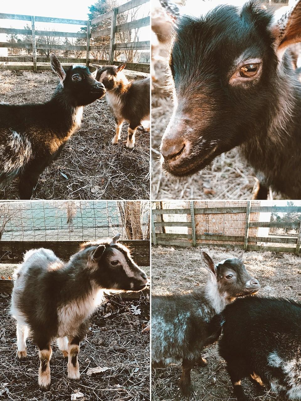nigerian dwarf goats on our happy hobby farm