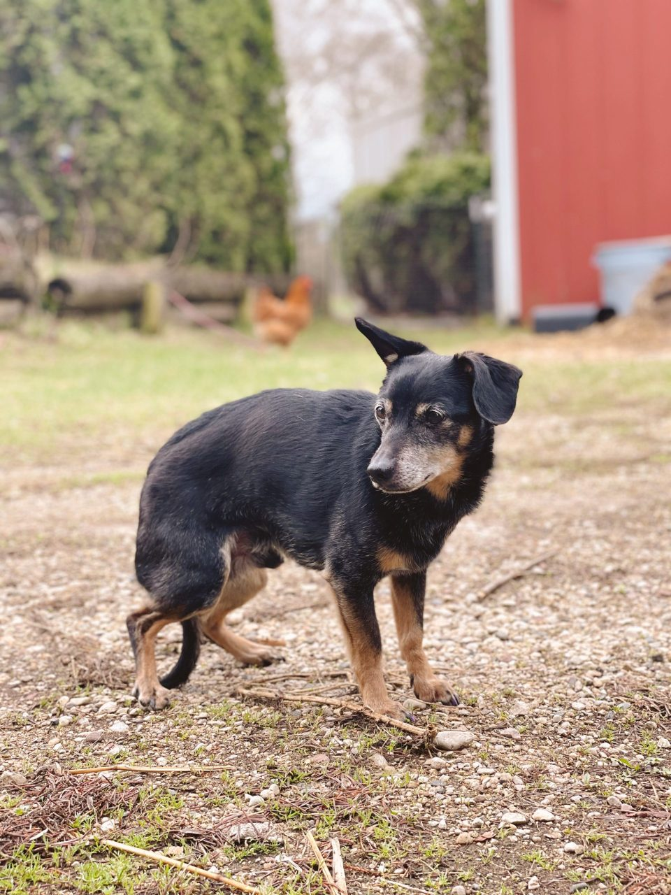 13 year old chiweenie mix farm dog