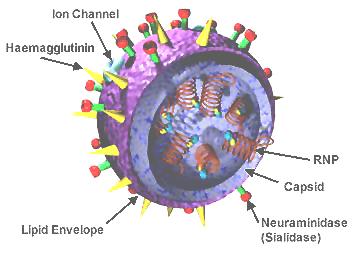 Influenza viron image. Wikipedia.