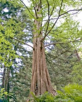 Biltmore Estate Cypress