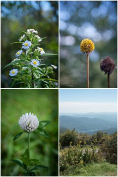 Wildflowers blooming at Craggy Gardens on the Blue Ridge Parkway.