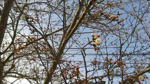 伊賀の桜はもうすぐそこです