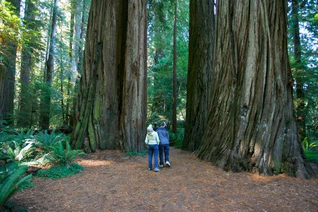 stout_redwood