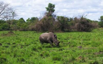 Rhino Trekking at Ziwa Rhino Sanctuary in Uganda