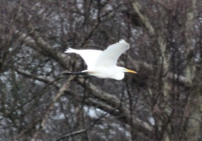 Great White Egret, Nar Valley Fisheries 1st January
