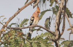 Hoopoe singing