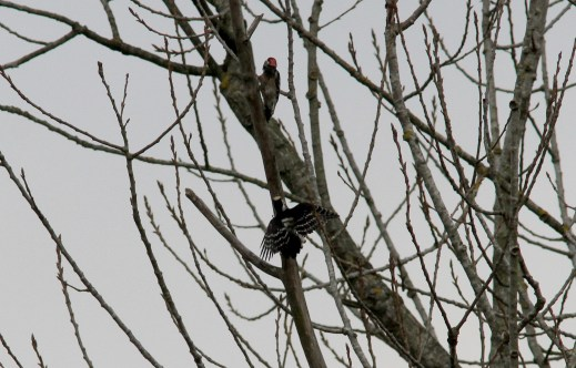 Lesser-spotted Woodpecker, Santon Downham 26th March