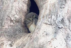 Bougainville Hawk Owl