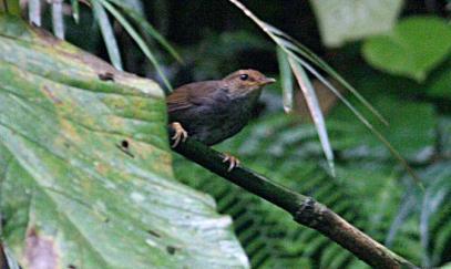 Bougainville Bush Warbler