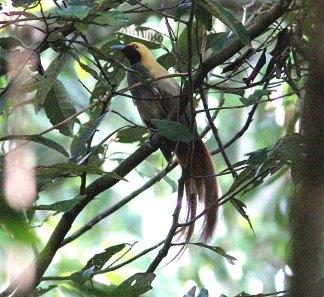 Goldies Bird of Paradise
