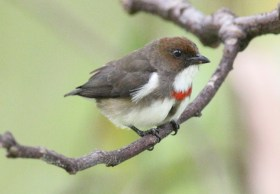 Red-banded Flowerpecker