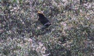 Sanfords Bowerbird
