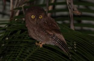 Simeulue Scops Owl