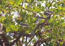 Terek Sandpiper and Grey-tailed Tattlers