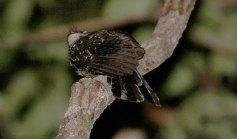 Wallace's Owlet-nightjar