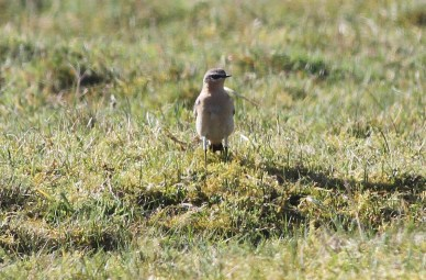 Wheatear, Gooderstone Warren, 19th April