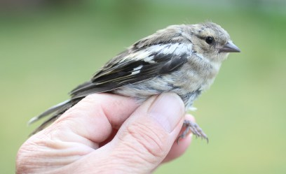 Chaffinch - juvenile ringed at Cockley Cley 15th May