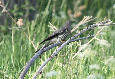 Cuckoo, Lakenheath, 28th May