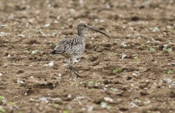 Curlew, Hilbrough Estate 25th May