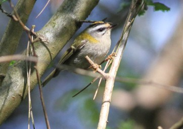Firecrest 8th May Drymere
