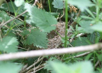 Garden Warbler nest almost complete, Drymere 13th May