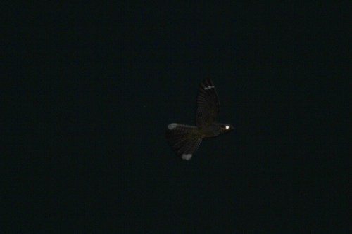 Nightjar, Mundford 28th May