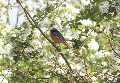 Redstart, Santon Downham 27th May