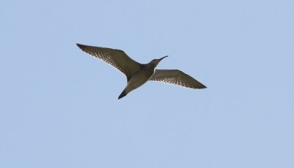 Whimbrel, Burnham Norton, 28th August