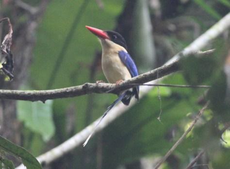 Black-headed Paradise Kingfisher