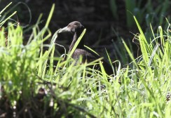 Bougainville Woodfords Rail