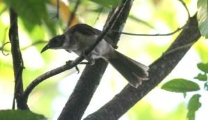 New Britain Friabird