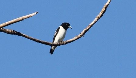 Bismark Woodswallow
