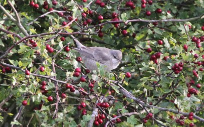 Barred Warbler, Burnham Overy Staithe 15th October