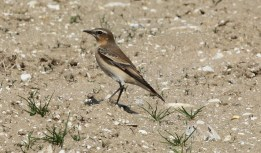 Wheatear, Gooderstone Warren 15th September